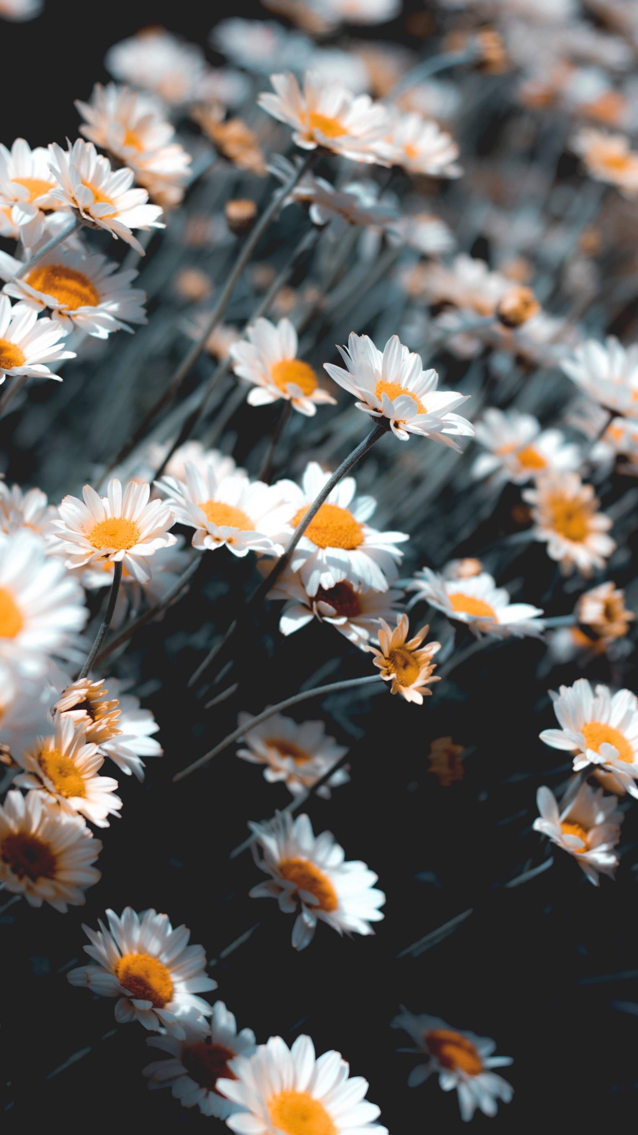 Lataa Iphone Xs Iphone Xs Max Iphone Xr Hd Taustakuvia Kamomilla Kukkia Val Flower Iphone Wallpaper Sunflower Iphone Wallpaper Backgrounds Phone Wallpapers