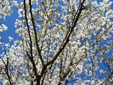 Finch Rare Bradford Pear Blooms Have Distinct Odor Bradford Pear Springs In Georgia Bradford Pear Tree