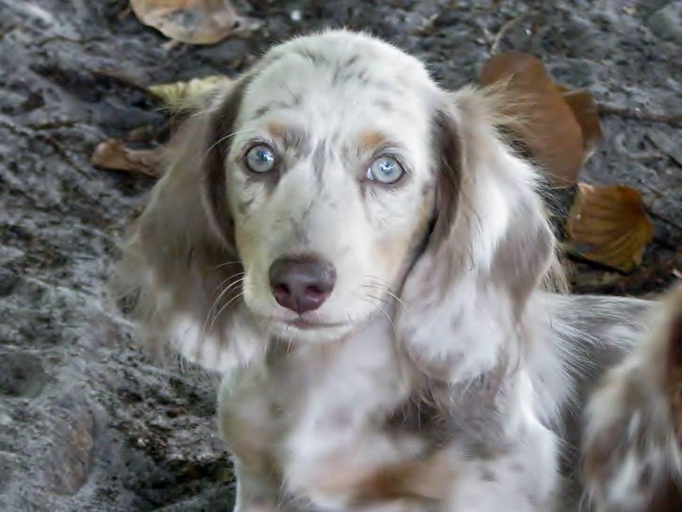 Baby Long Haired Dachshund Dachshund Puppy Long Haired Dachshund Puppies Cute Dogs