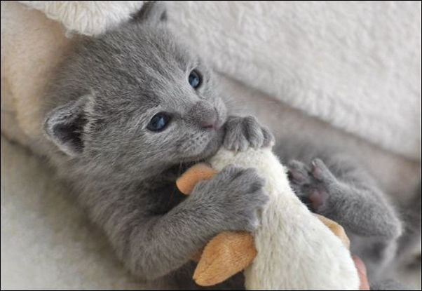 Sweety Russian Blue Cat Breeders Pa Amp Green Eye Picture Of Cat Gatos