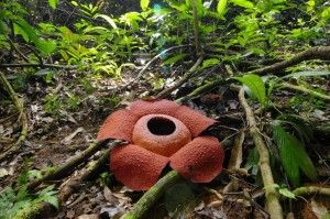 Rafflesia The Largest Flower In The World Picture Taken From Gunung Gading National Park In South West Sarawak Borneo T Taman Negara Borneo Large Flowers