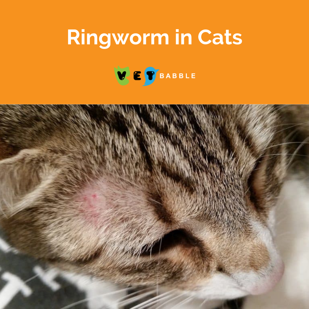 Ringworm In Cats Learn The Signs And How To Treat It Vetbabble Ringworm In Cats Cats Cat Ringworm
