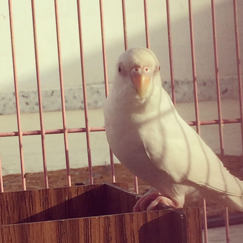 بادجي طيور الحب بادجي انجليزي بادجي هولندي طيور بادجي استرالي هوقو ينبع بادجي كرست Animals Parrot Bird