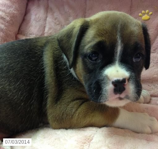 Roxy Too Boxer Puppy For Sale In Conowingo Md Boxer Puppies For Sale Boxer Puppies Puppies For Sale