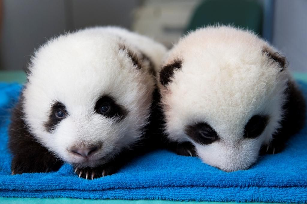 The Eyes have it! #ZAPandaCubs