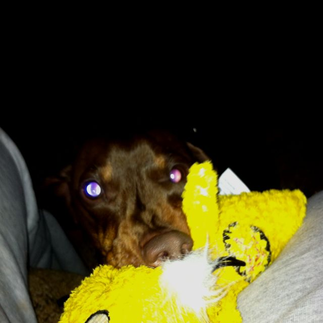 My doggie and his duck are inseparable