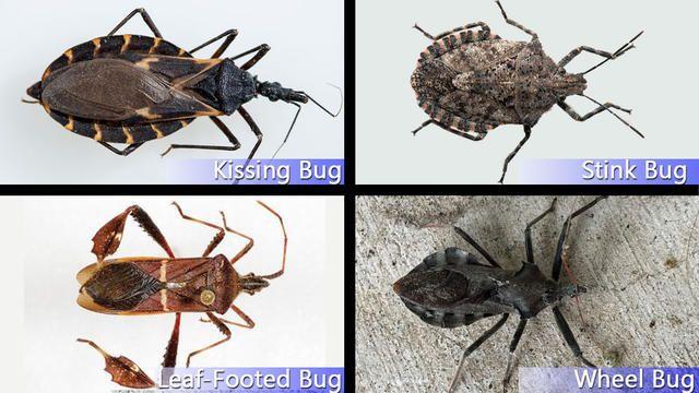 Hidden Threat Identifying Kissing Bugs From Similar Bugs Kiss