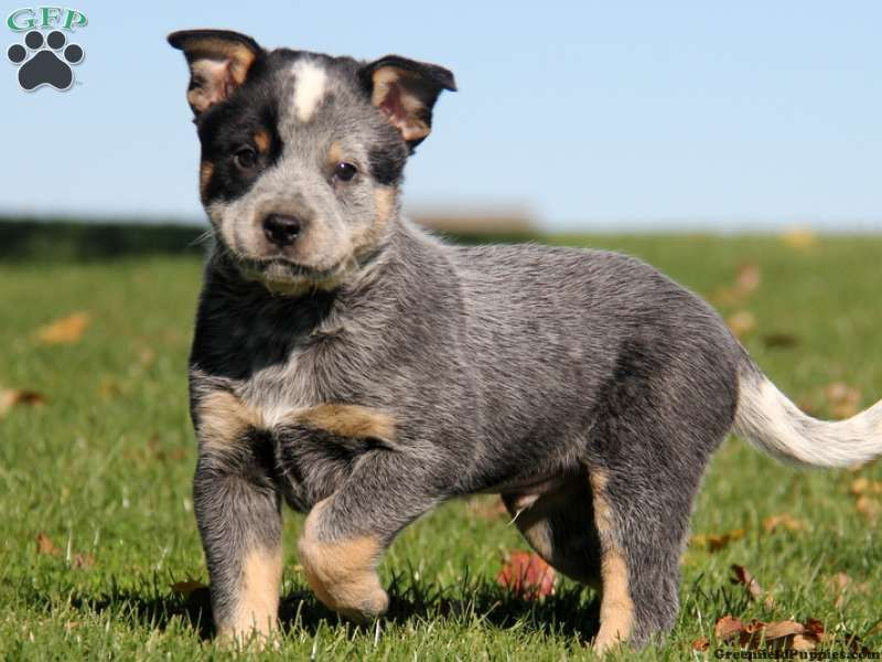 Rusty Blue Heeler Mix Puppy For Sale In Pennsylvania Blue Heeler Puppies Heeler Mix