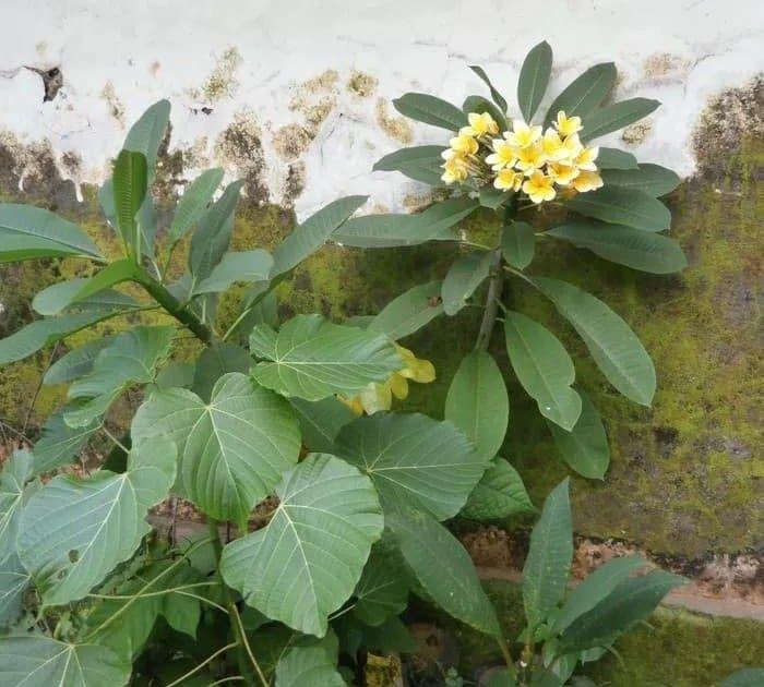 Paling Populer 13 Gambar Bunga Kamboja Dari Pensil Jual Bunga Kamboja Kab Bogor Taman Indah Bogor Tokopedia Cara Menggambar Bunga K Di 2020 Taman Indah Bunga Gambar