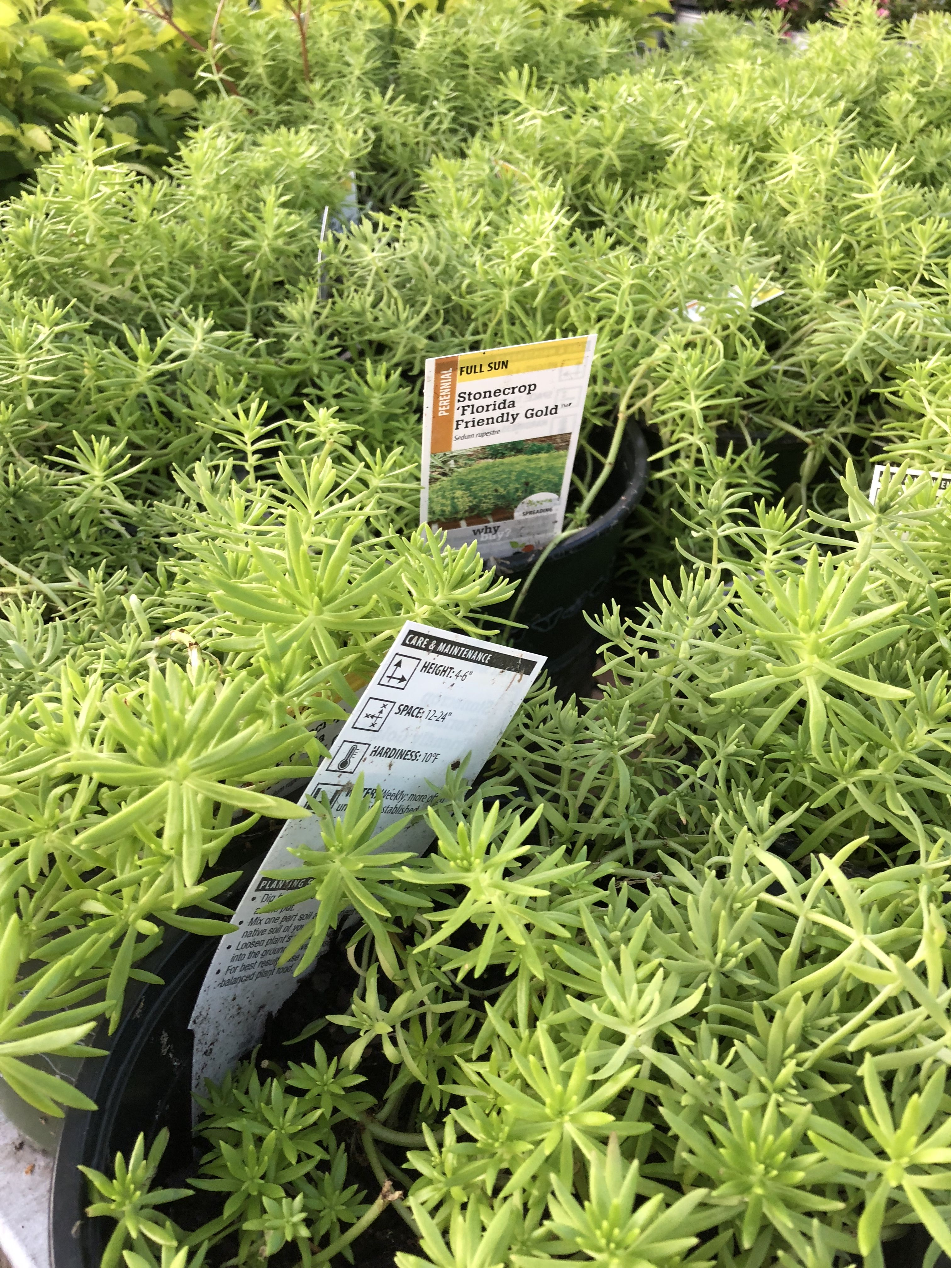Florida's friendly gold | Herbs, Plants, Gold