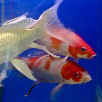 Карпы кои в аквариуме | Аквариум, Рыба, Аквариумная рыбка