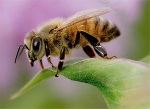 Take the Pledge  Honey bees need your help!