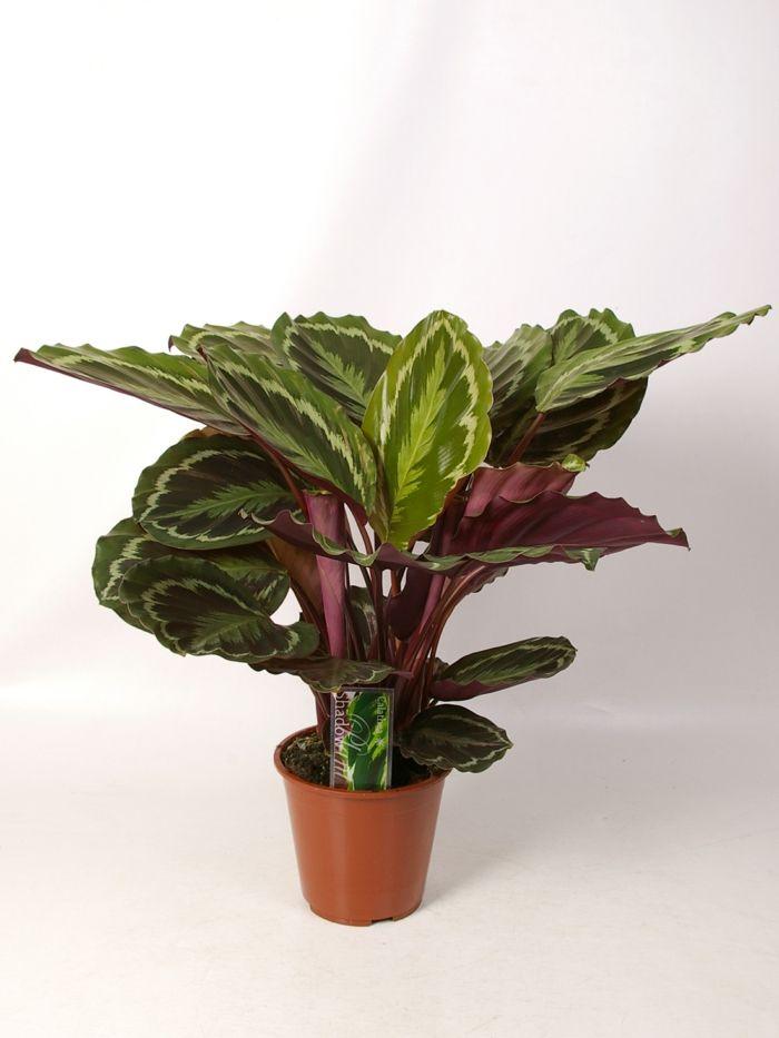 calatea schattenpflanzen zimmerpflanzen schattig - Wohnzimmer Pflanzen Schattig