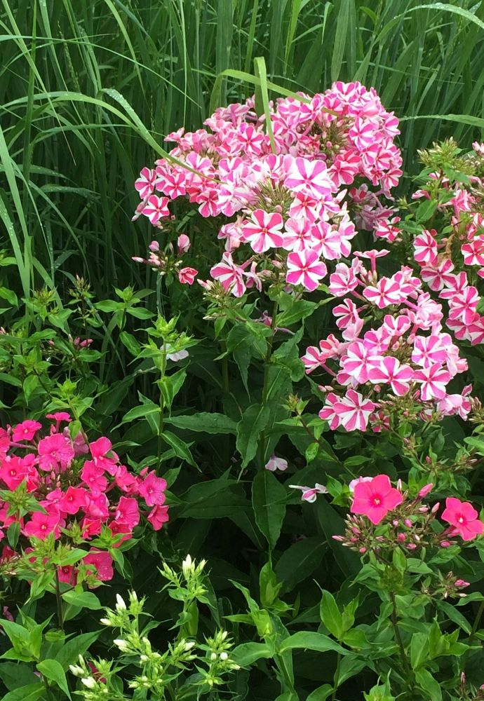 Phlox Volcano Series With Images Plants Perennial Plants