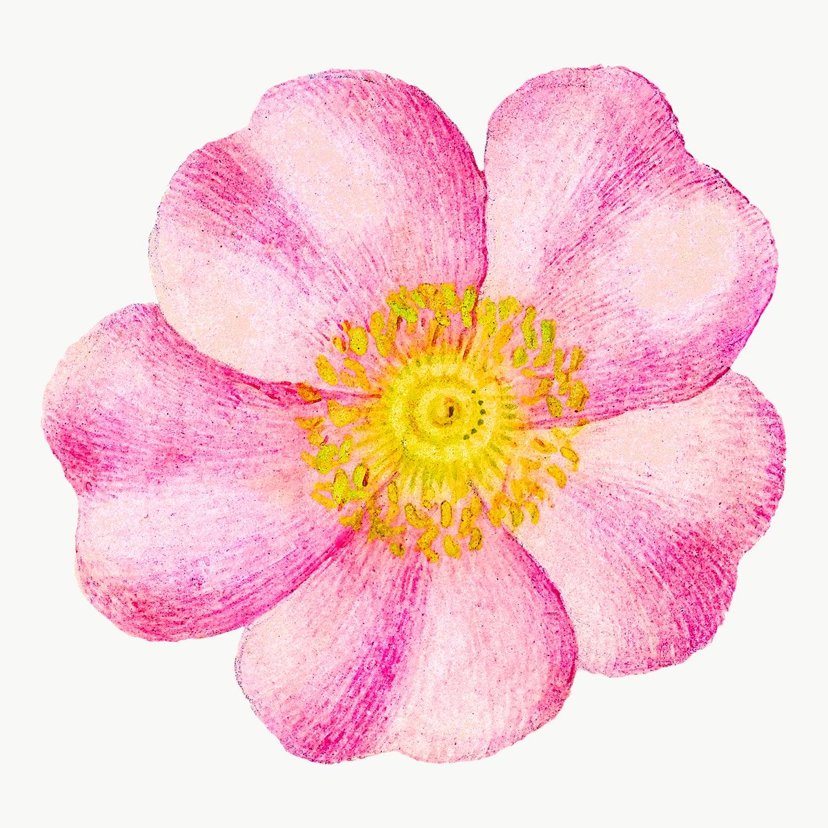 Eglantine Pink Flower Png Element Hand Drawn Free Image By Rawpixel Com Tong Flower Drawing Vector Flowers Tropical Illustration