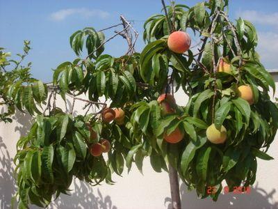 Arboles frutales en macetas3 plantas pinterest manga - Plantar arboles frutales ...
