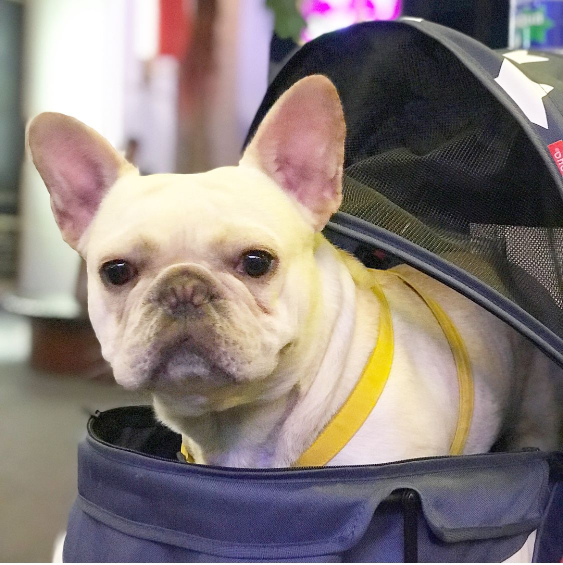 Buy French Bulldog Puppies For Sale In Turkey