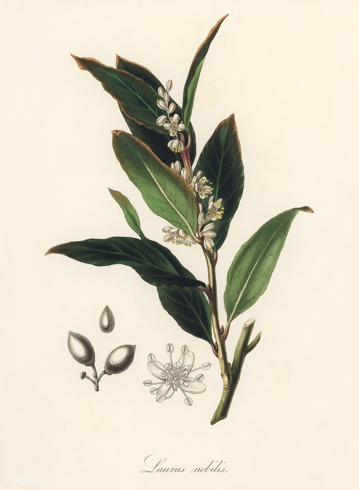 Bay laurel (Laurus nobilis) illustration from Medical Botany (1836 ...