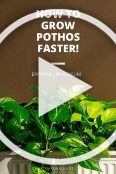How to grow Pothos faster Follow these tips to help your Pothos house plant thr  How to grow Pothos faster Follow these tips to help your Pothos house plant thrive and gr...