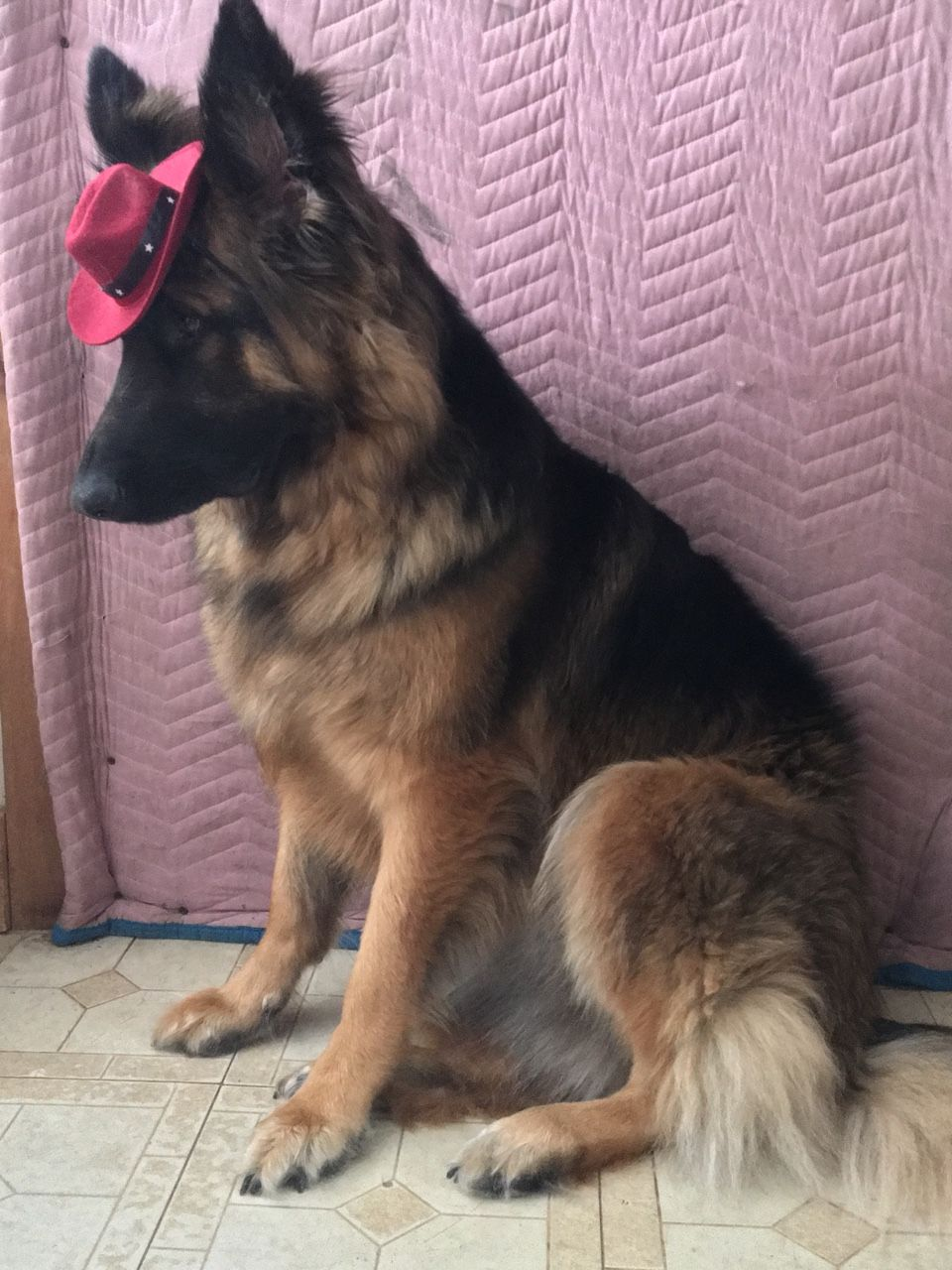 This Is Lola Look At That Hat Wearing God 11 10 Gsd Dogs German Shepherd
