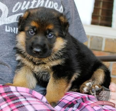 German Shepherd Puppy Trixie German Shepherd Dogs Puppies