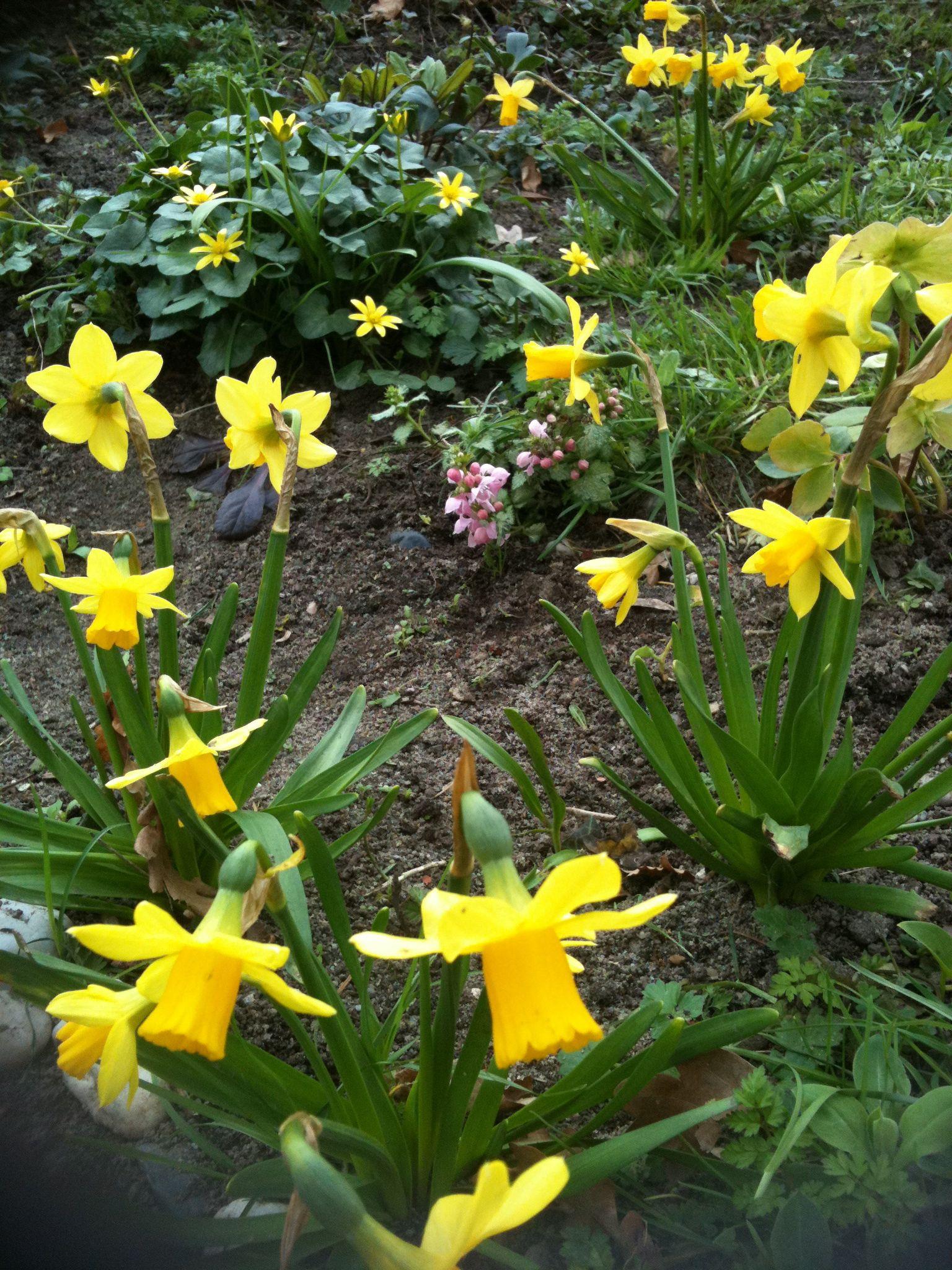 Narcisses têteàtête de notre jardin Bulbes de