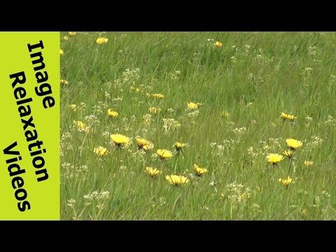 Wind Dithered Dandelions & Grass - Hypnotic Nature Hypnosis Relaxation Nature Sounds - 5 Minutes By IRV - http://www.imagerelaxationvideos.com/wind-dithered-dandelions-grass-hypnotic-nature-hypnosis-relaxation-nature-sounds-5-minutes-irv/