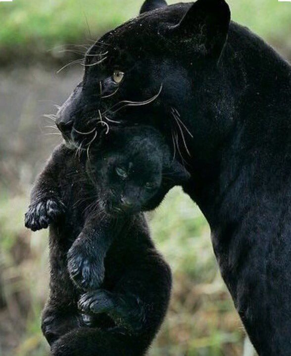 Black panther and cub | Animals: wild and wonderful ... - photo#17