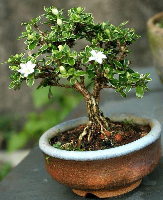 Serissa Mame Bonsai Tree Care Bonsai Plants Bonsai Tree