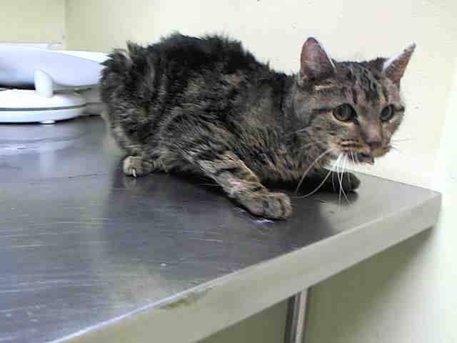 Pulled By Hurricane Pets Rescue Inc Hpr To Be Destroyed 4 9 15 Nyc Sweet Girl W Possible Heart Murmur Staten Is Cheap Pet Insurance Cats Cat Shelter