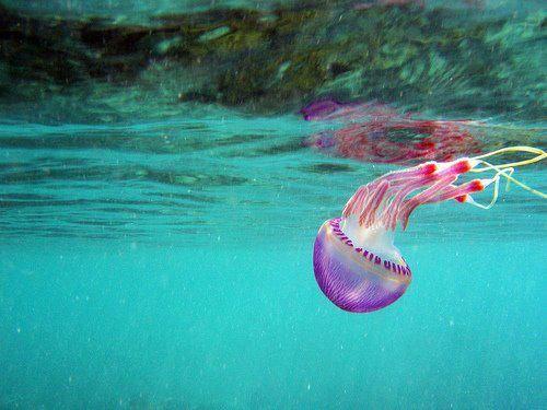 beautiful jelly fish