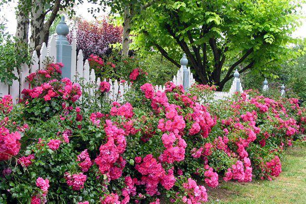 Simple Rose Garden: Flower Carpet Pink Rose, The Original Eco-rose. Great In