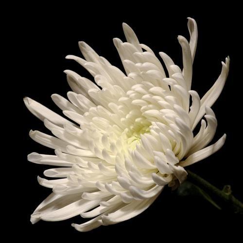 Chrysanthemum spider white whites rhodo phj 16 pinterest chrysanthemum spider white mightylinksfo