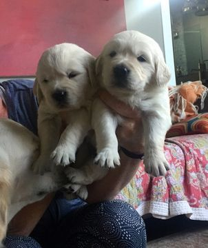 Golden Retriever Puppy For Sale In Houston Tx Adn 35888 On