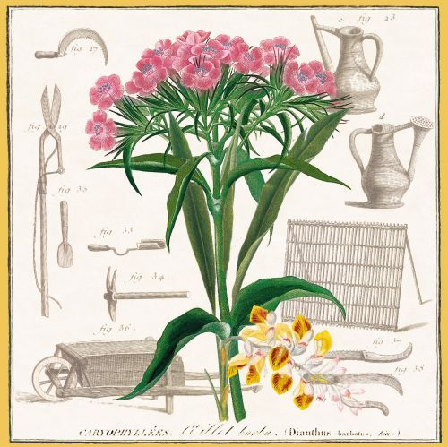 Alembert and Diderot's Encylopedia 'Garden Tools' with Maubert's illustration of pink Dianthus Barbatus -Sweet William.