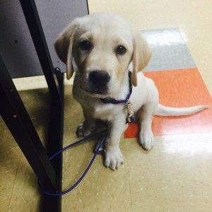 Tether Training For Service Dogs Or Any Other Desired Well Behaved
