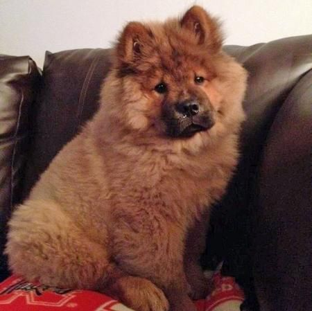 Via The Daily Puppy Puppy Breed Chow Chow Hello My Name Is Bear