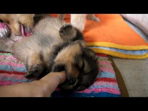 Pochi 20 Days Old Pomeranian Puppy Pomeranian Puppy Puppies