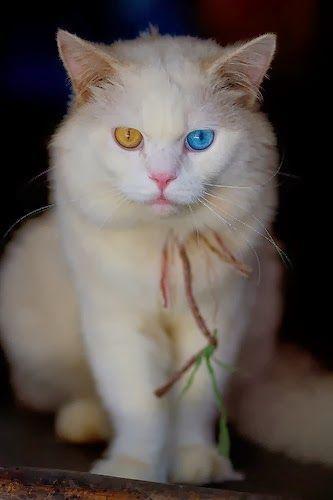 Turkish angora cat price in pakistan