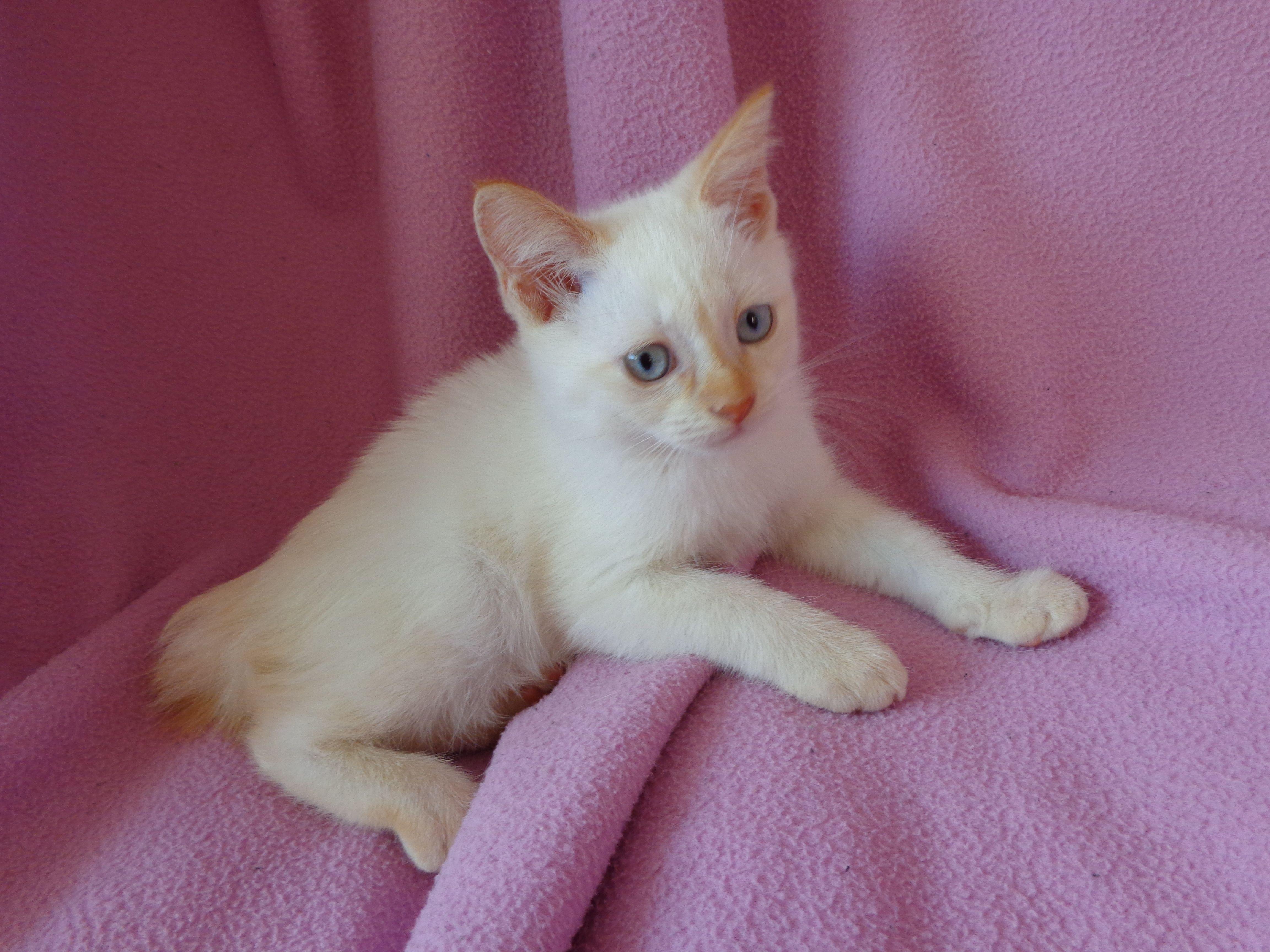 Mekong Bobtail kitten For Sell Exclusive unique kitten Mekong