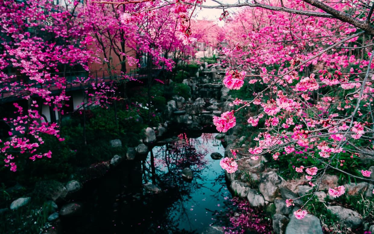 Photographing The Cherry Blossom Valley Of Dali China Jake And Dannie Blossom Trees Cherry Blossom Cherry Blossom Tree