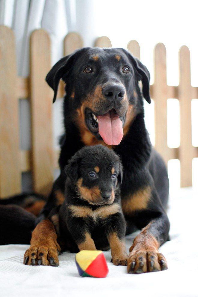 4 Woche Beuceron Welpen E Wurf Wir Bekommen Biss Bio Tiernahrung Fur Hunde Und Katzen Welpen Hunderassen Hunde Welpen