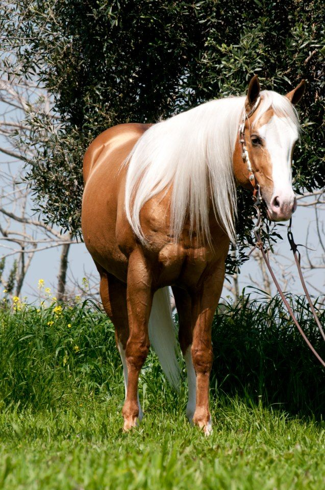 Quarter Horse stallion INFINITY LITTLE STEP
