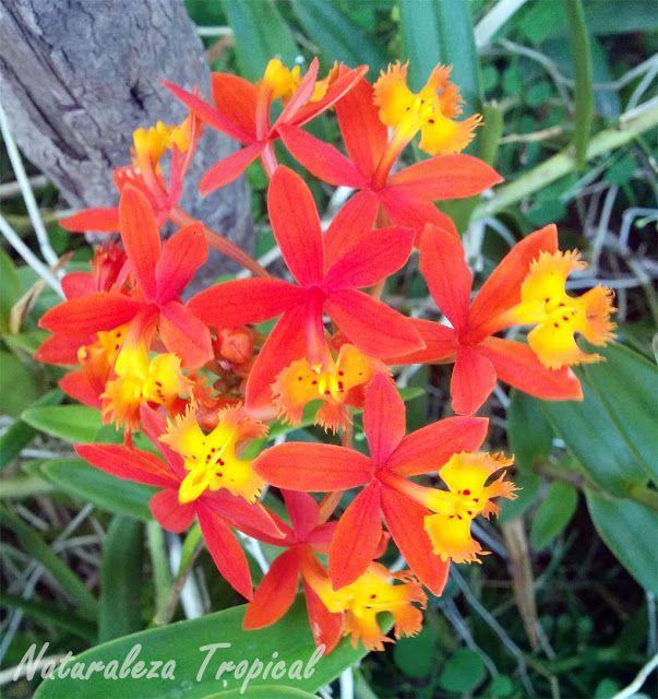 Flor de la orqu dea epidendrum radicans flores for Definicion de plantas ornamentales