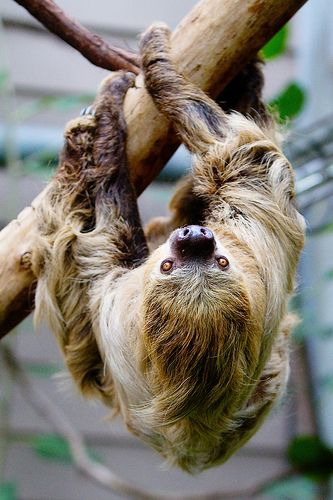 two toed sloth   Oso perezoso, Salvajes y Osos