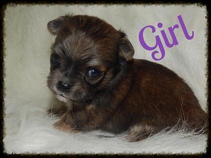 Bg S Chihuahua Louisiana Akc Chihuahua Puppies For Sale Chihuahua Puppies Chihuahua Puppies For Sale Chihuahua