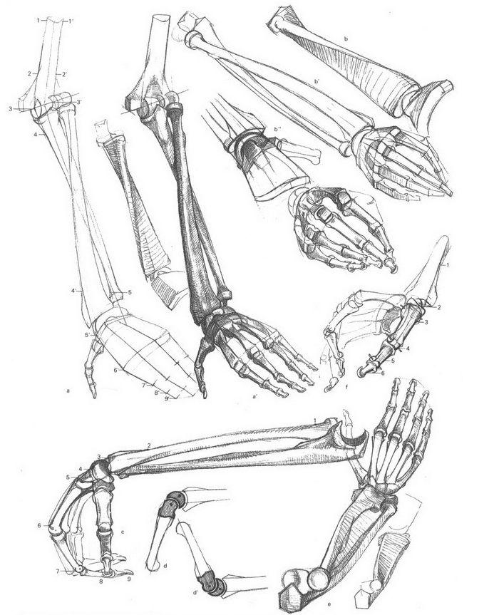 Pin de María Fernanda en Esqueleto Humano | Pinterest | Esqueleto humano