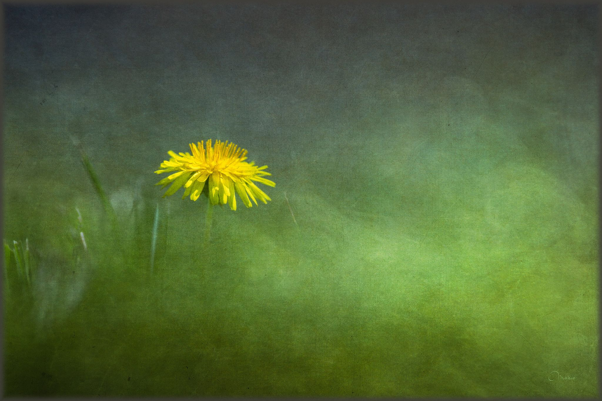 Dandelion early in the morning by Marc Bronders