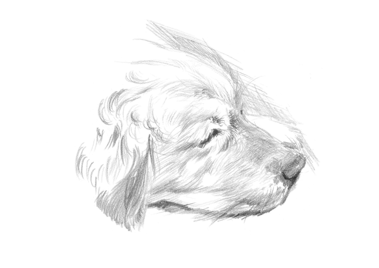 Sam Pencil Drawing Of A Golden Retriever Dog Giclee Print Pencil Drawings Drawings Dogs Golden Retriever