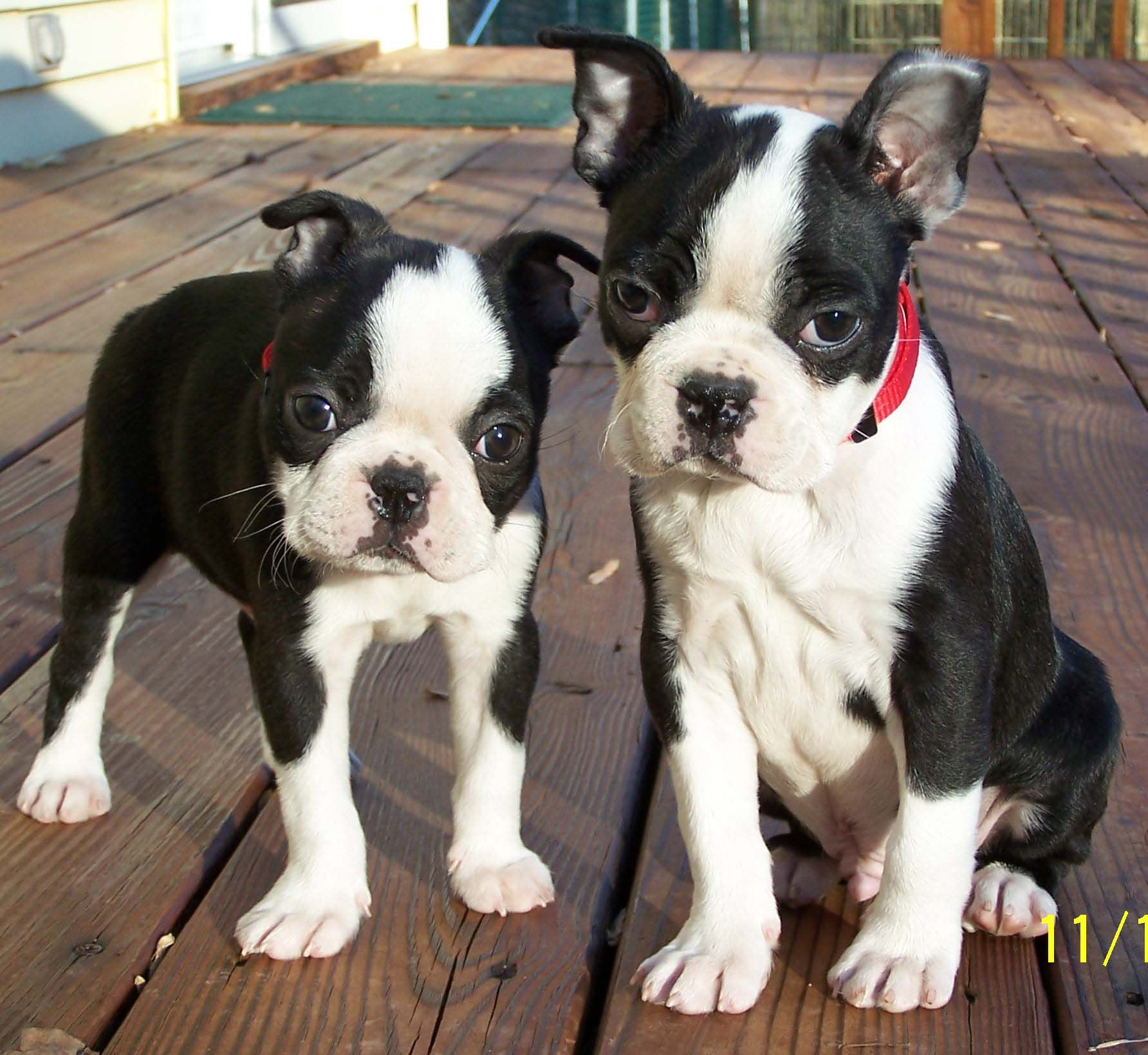 Boston Terrier puppies. Brothers. | PELUCHES | Pinterest | Belleza y ...